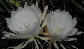 76+ Gambar Bunga Wijaya Kusuma Paling Baru