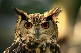 4 Mitos Burung Hantu di Depan Rumah yang Bikin Merinding!